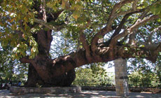 1000 years old plane tree in Agia Paraskevi